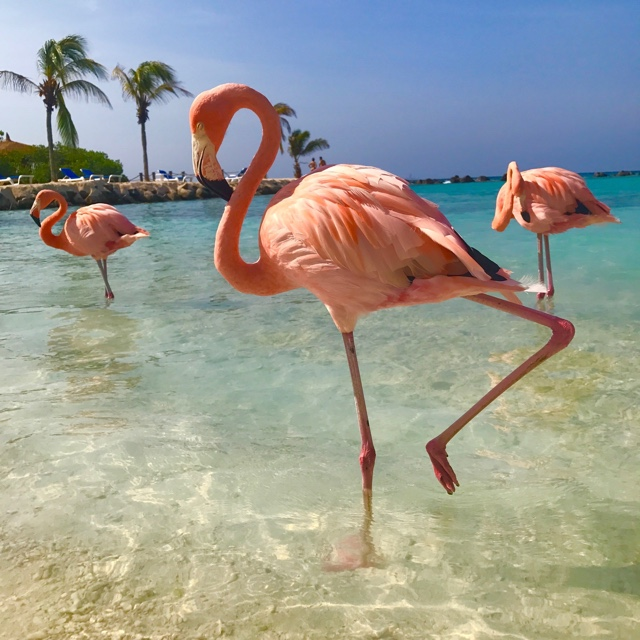 The Flamingos on Renaissance Island