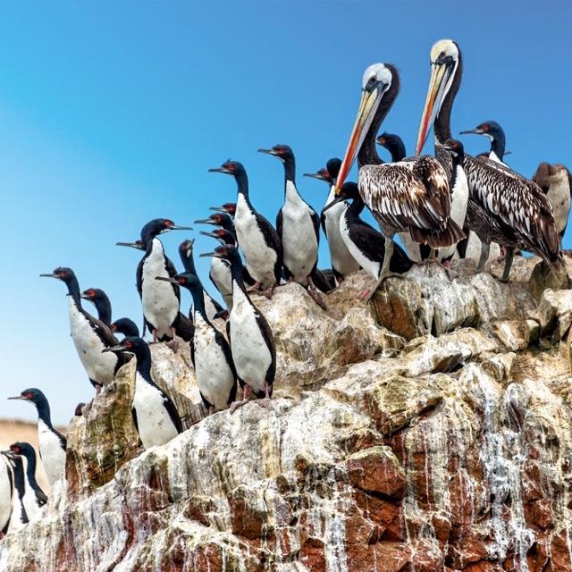Penguins of Ballestas Islands