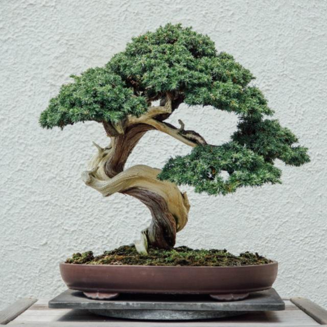 Grow a Bonsai Tree