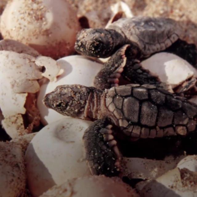 Watch Sea Turtles Hatch