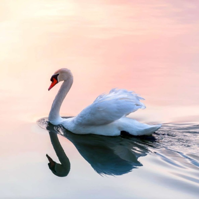 Own all the Swans in England