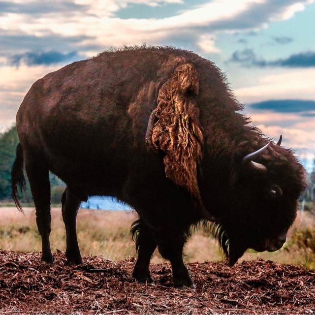 See a Bison and Eat a Bison