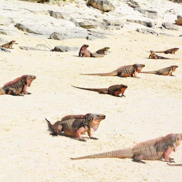 Wild Iguanas at Allen Cay