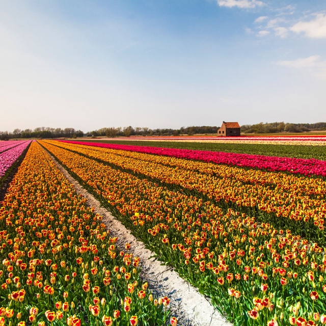 Ride a Bicycle Through the World Famous Tulip Fields