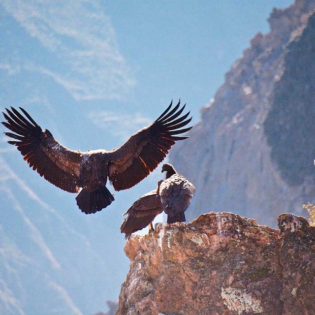 The Condors of Colca Canyon