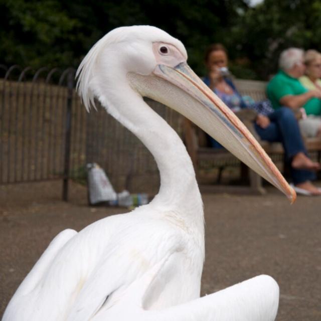 Pelicans of St James's Park
