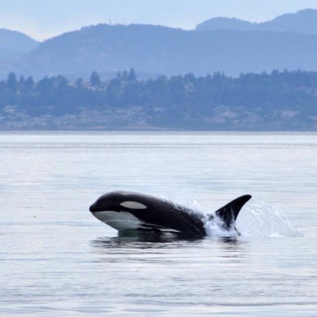Whale Watching at Salish Sea