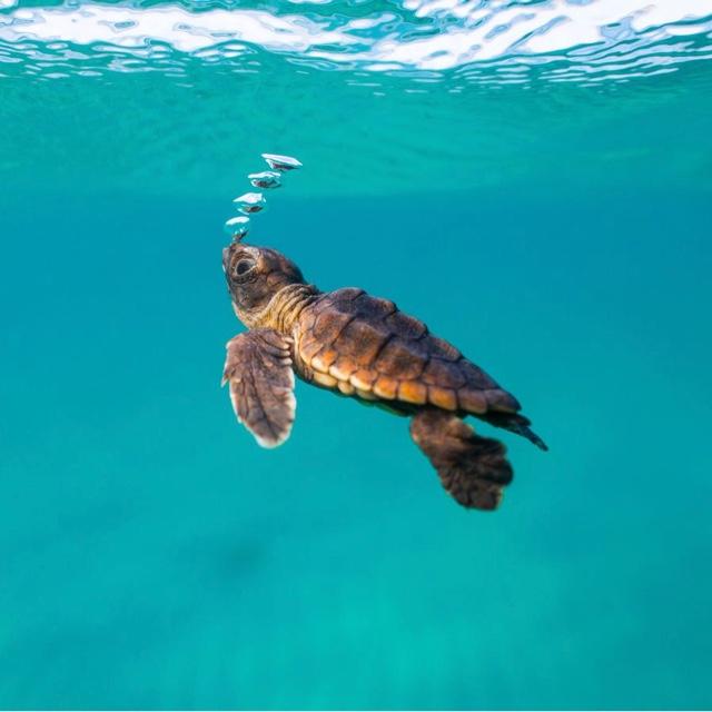 Sea Turtles of Mancora