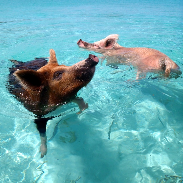 Fishing Pigs