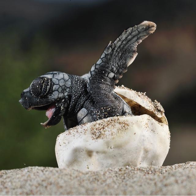 Watch Baby Sea Turtles Hatching