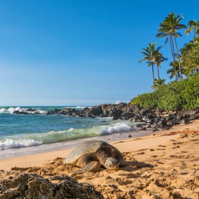 Sea Turtles on Laniakea Beach
