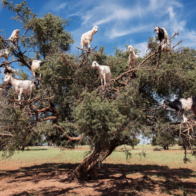 Find the Tree Goats