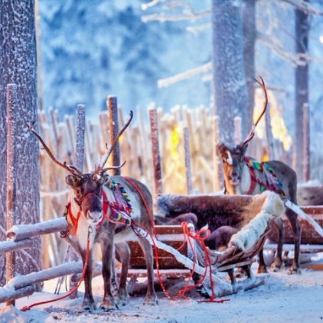 Reindeer Sled Rides in Rovaniemi