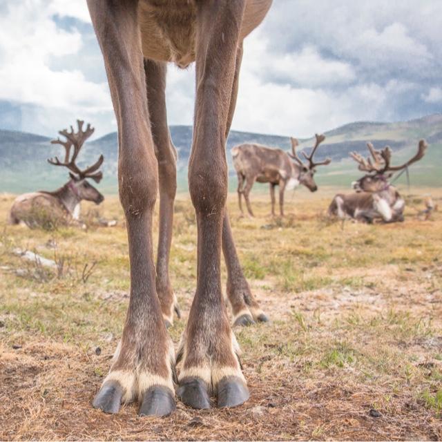 Go on a Reindeer Safari