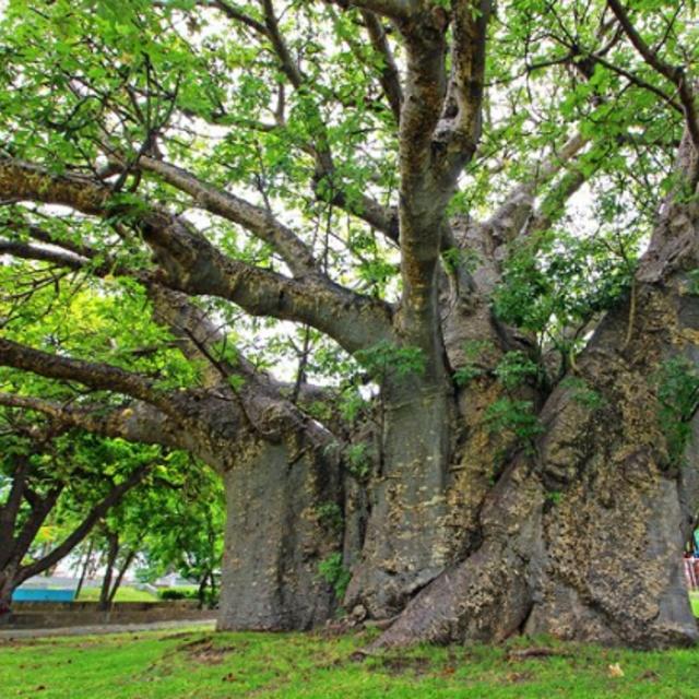 Hug the Baobab Tree in Queen's Park