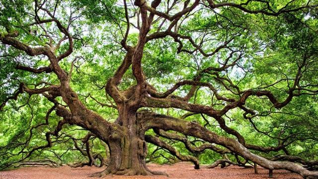 See the Angel Oak Tree
