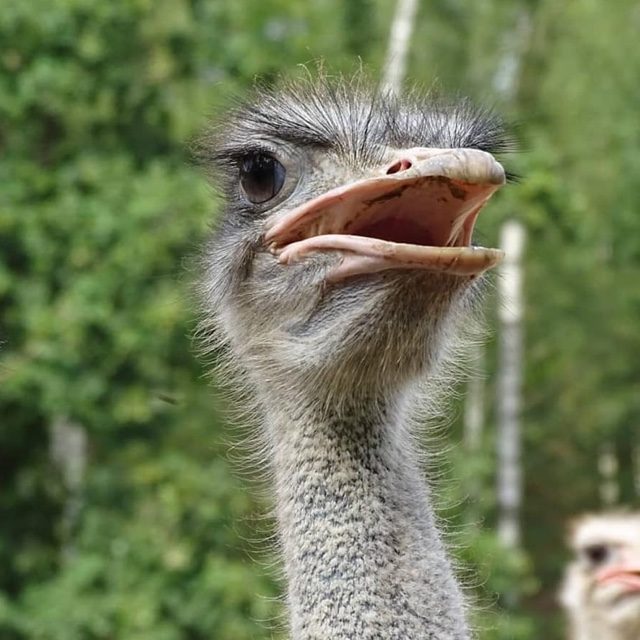 Play on an Ostrich Farm