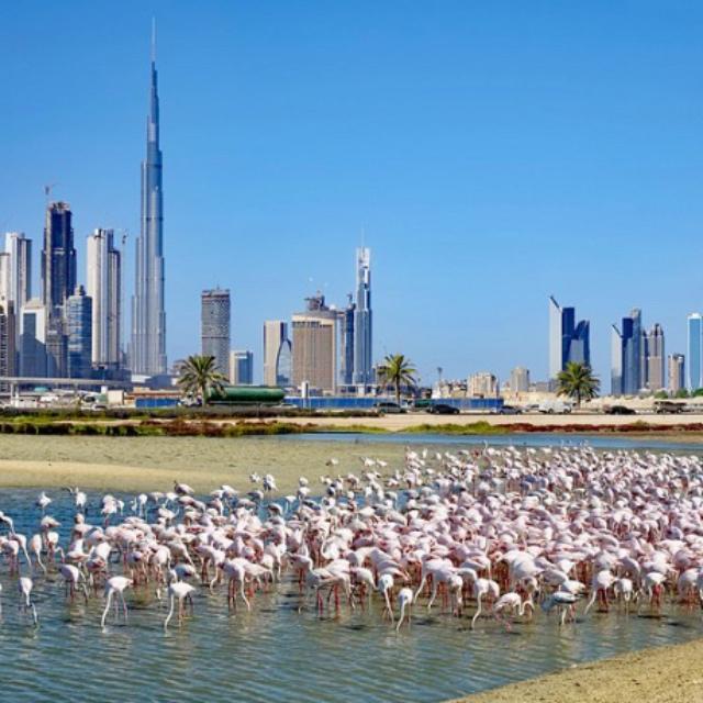 See Flamingos at Ras Al Khor Wildlife Sanctuary