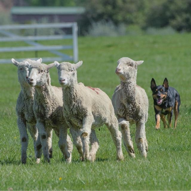 Soldier Hollow Sheepdog Trials