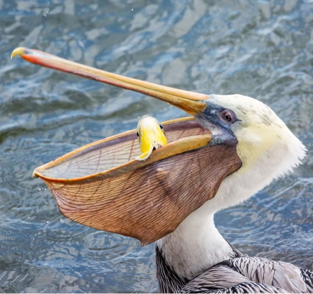 Feed the Pelicans at Tracey Aviary