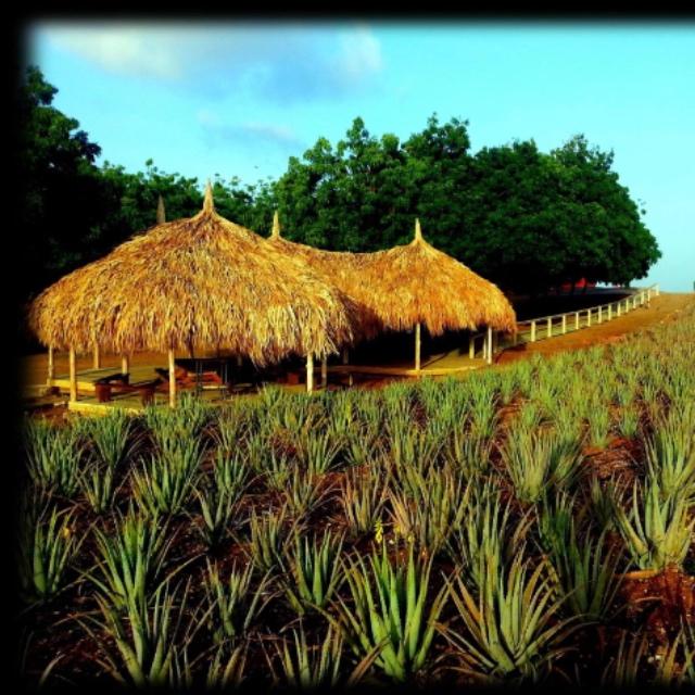 The Aloe Vera Plantation in Curacao