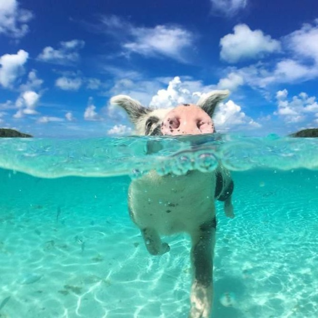 Feed the Swimming Pigs
