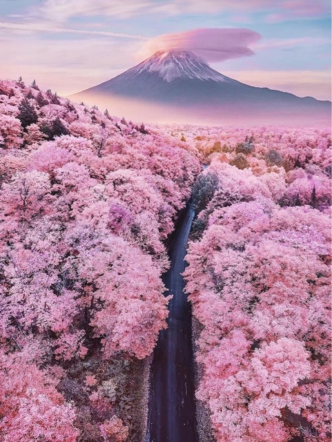 Attend the Cherry Blossom Festival in Japan